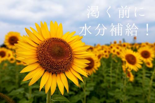 Gak85_himawarihatake500